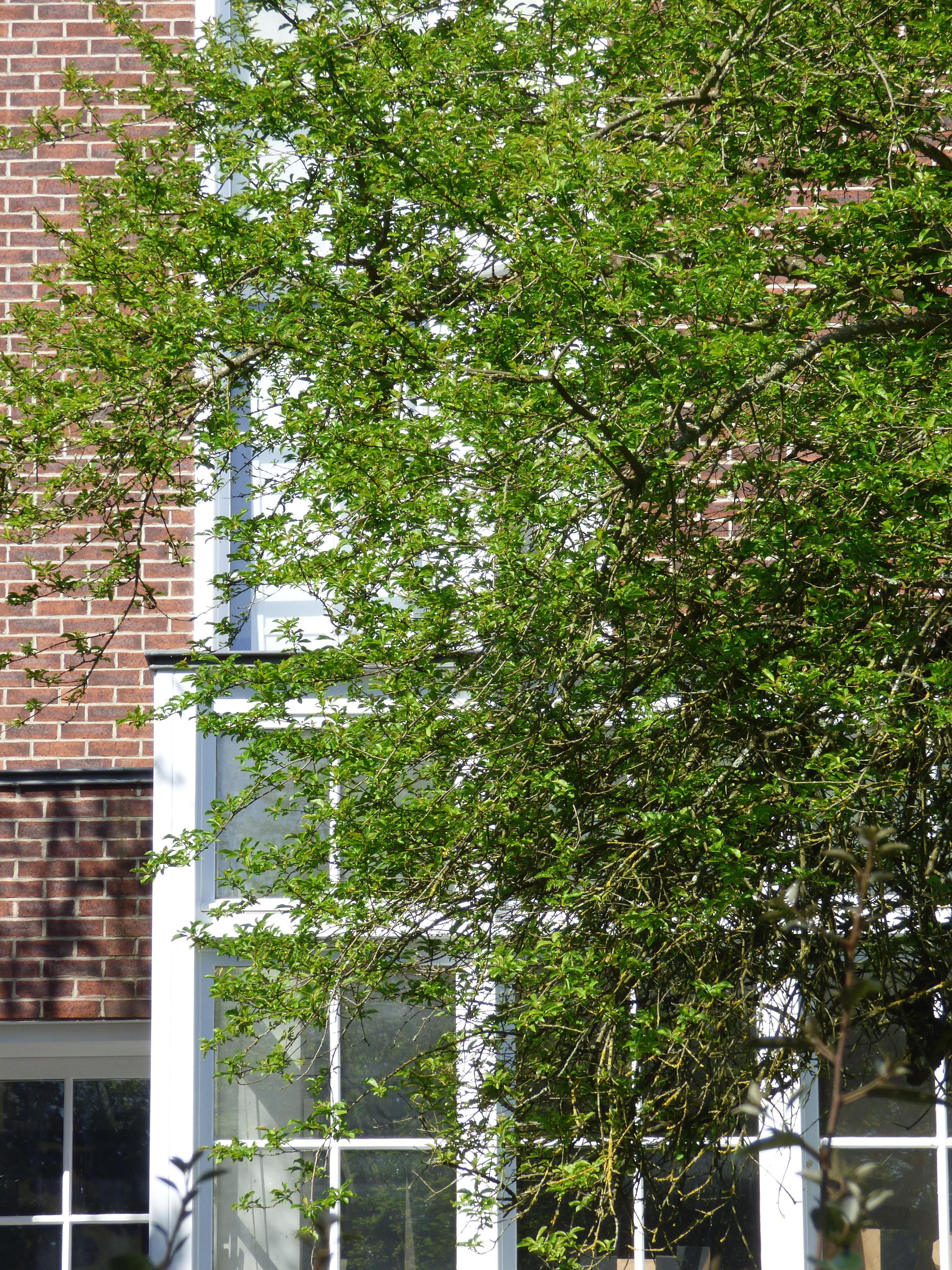 Une habitation particulière à Meudon, l'effleurement d'un arbre fruitié.